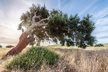 Cork Oak Tree (Quercus Suber) ...