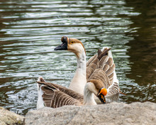 African Geese Swimming In Pond