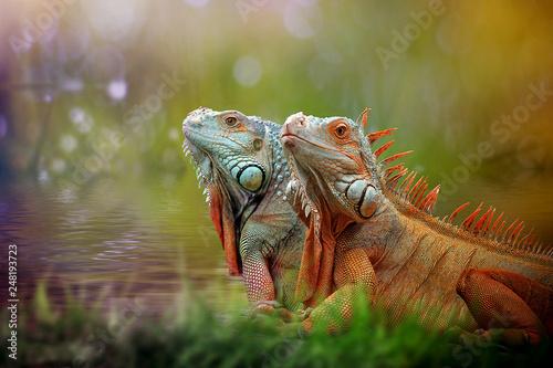 Foto op Canvas Kameleon iguana on grass