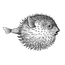 Hedgehog Fish Isolated On White Background.