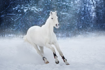 White horse run in snow landscape