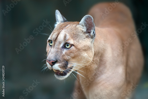 Photo Stands Panther Puma close up portrait with beautiful eyes