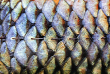 Fish Scales Skin Pattern Texture Background Macro View. Geometric Pattern Photo Wild Carp With Lateral Line. Selective Focus, Shallow Depth Field.