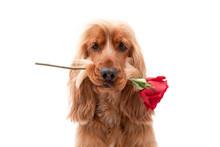 Cocker Spaniel Dog Valentine W...