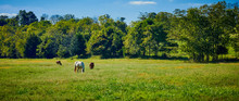 Horse And Cows Grazing In Field
