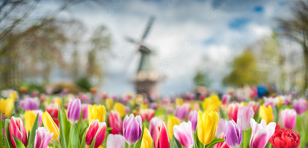 Fototapety, obrazy: Spring background with tulip flowers