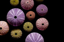 Isolated Sea Urchins On Black ...