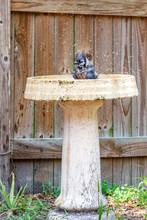 Blue Jay Bathes In Bird Bath Near Wood Fence