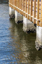 Barnacles Grow At Waterline On Cement Pilings