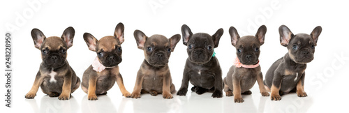 A litter of French bull dog puppies in a line on a white background