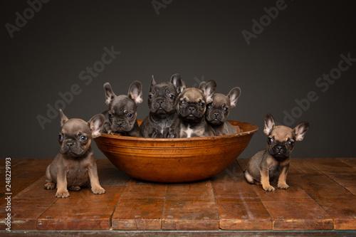 Fényképezés  French bull dog puppy