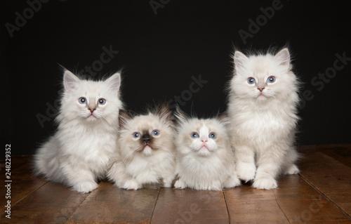 Kitten Canvas-taulu
