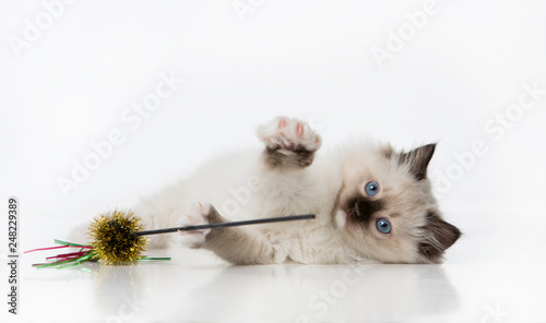 Fotografie, Obraz  Ragdoll kitten laying down on its side playing on a white background