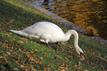 White Swan With A Curved Long ...