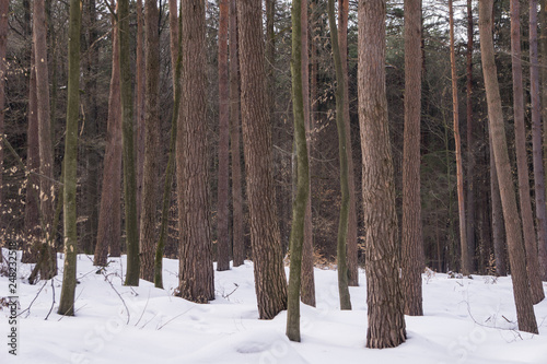 Fotografía  Red pine trunks in winter