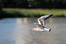 Flying Juvenile Black-headed Gull Or Chroicocephalus Ridibundus (syn. Larus Ridibundus) Against Lake, Belarus