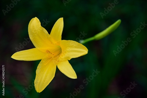 Single bright yellow flower in the sunshine of the Andes mountains of Colombia, South America.