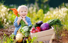 Cute Little Boy Holding A Bunch Of Fresh Organic Carrots In Domestic Garden. Healthy Family Lifestyle.