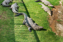 Crocodiles On A Crocodile Farm...