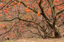 The Persimmon Fruit Trees In Autumn