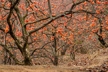 The Persimmon Fruit Trees In Autumn