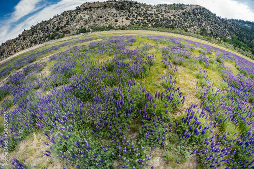 Fotografía Extreme wide angle fisheye view of wild lupine wildflowers growing in a meadow i