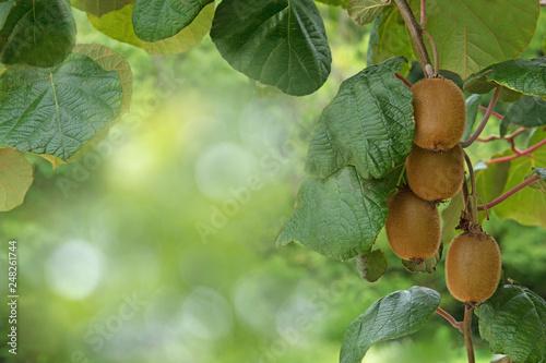 Fototapeta Kiwi fruits on a tree obraz