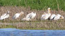 American White Pelicans In Fal...