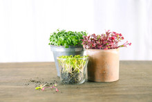 Growing Of Microgreens At Home