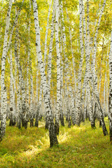 Fototapetayellow birch forest, late autumn nature landscape