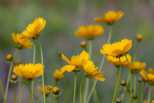 Blooming Coreopsis. Natural Ba...