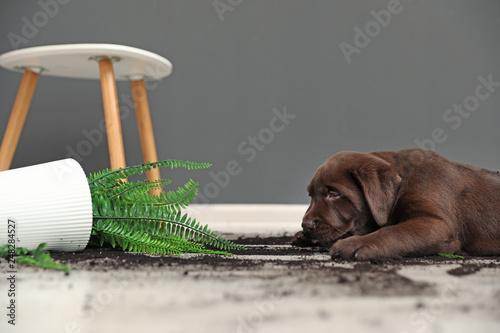 Obraz Chocolate Labrador Retriever puppy with overturned houseplant at home - fototapety do salonu