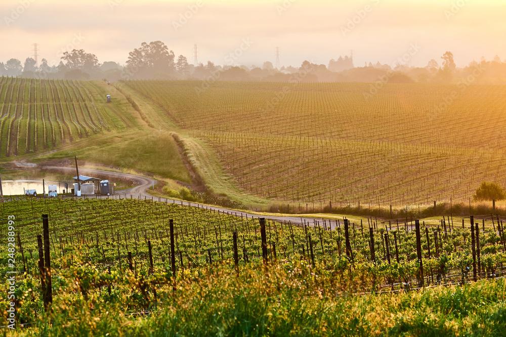 Fototapeta Vineyards at sunrise in California, USA