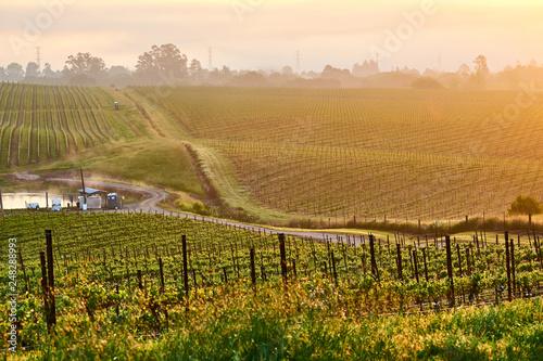 Obraz Vineyards at sunrise in California, USA - fototapety do salonu