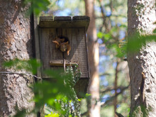 Small Squirrels In A Birdhouse