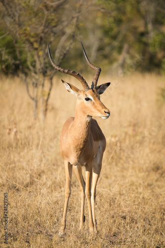 Fotografia  Close up image of impala in a national park in south africa