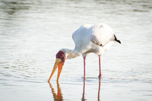 Close Up Image Of A Stork Fishing In A Pond In A National Park In South Africa