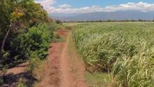 Aerial View Panning Around Extensive Sugarcane Fields