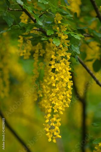 Fotografia  Maggiociondolo alpino (Laburnum alpinum) - infiorescenza gialla