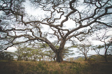Close Up Image Of Camel Thorn Acasia Tree In Mpumalanga In South Africa.