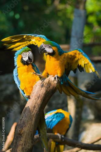 Foto  Two blue-and-yellow macaws (Ara ararauna). Chiang Mai, Thailand
