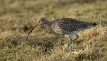Curlew Searching For Food On G...