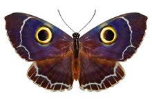 Owl-like Tropical Butterfly On...