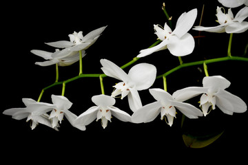 Panel SzklanyBeautiful white orchid on a black background