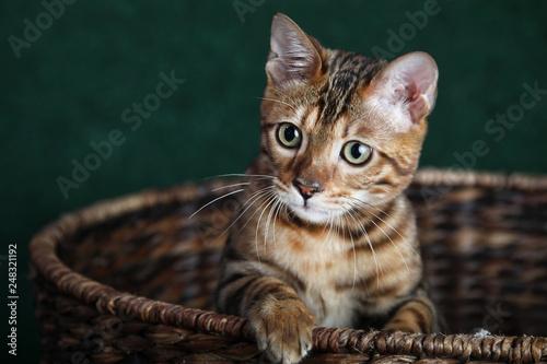 Cute Bengal Cat in Basket Close up