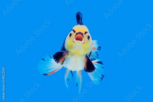 Valokuva  Beautiful Oranda Goldfish (Carassius auratus) White-black Color with red cap in glass tank on blue background, aquarium pet fish in Thailand, fish action alike angry bird cartoon