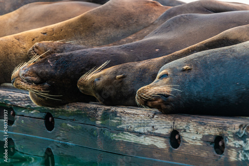 Photo  Sea Lions Taking a Nap