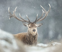 Red Deer Stag In The Falling Snow