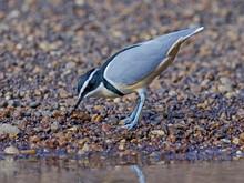 Egyptian Plover (Pluvianus Aegyptius)