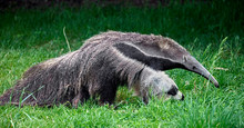 Giant Anteater. Latin Name - M...